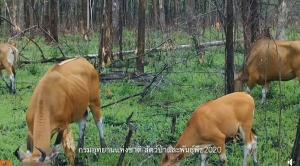 ตื่นตา! ฝูงวัวแดงเริงร่า กินหญ้าอ่อนป่าชิงเผาที่ห้วยขาแข้ง