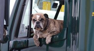 งานวิจัยชี้ มีสุนัขในรถ ช่วยเพิ่มความปลอดภัยให้ผู้ขับขี่รถยนต์ได้