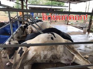 พายุถล่มชัยภูมิอ่วม! ซัดคอกวัวพังไฟฟ้าช็อตวัวตายยกคอก 6 ตัว เจ้าของเข้าช่วยถูกไฟดูดสาหัส