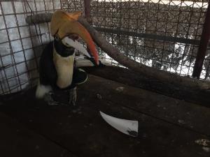 """เศร้า! นกเงือก """"กกกอด"""" เหยื่อถูกล่า-จะงอยปากหัก ตรอมใจตายหลังอาการทรุด"""