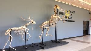 """คนรัก """"พี่เตี้ย"""" แวะเวียนเข้าพิพิธภัณฑ์กายวิภาคฯ สัตวแพทย์ มช. หวังชมโครงกระดูกสุนัขเซเลบชื่อดัง"""