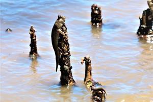 ตื่นตา! ปลาตีนนับพันตัวรวมกลุ่มหากินตามแนวป่าชายเลน ระบบนิเวศทางทะเลสมบูรณ์