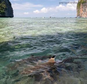 ฉลามหูดำว่ายน้ำหากินร่าเริง ผู้ประกอบการลอยเรืออยู่ข้างนอกเห็นลิบๆ เรียกว่าทั้งสัตว์ทั้งคนมีเขตที่อยู่ หากินร่วมกันได้ในทะเลแห่งเดียวกัน (เครดิตภาพ กรมอุทยานฯ)