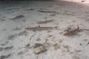 ฉลามหูดำ ที่เกาะห้อง