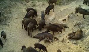 ครอบครัวหมูป่าหนาแน่น ที่ทุ่งแสลงหลวง