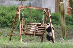 ของหนู! แพนด้าฝาแฝดวัยซุกซน สู้กันอุตลุดแย่ง 'ม้านั่งชิงช้า'