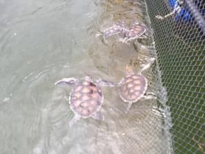 กรม ทช. โดยสำนักงาน ทช.ที่๖ (พังงา) สำรวจ ติดตามผลการอนุบาลลูกเต่าทะเลในกระชัง 107 ตัว ภายใต้โครงการอนุรักษ์และฟื้นฟูเต่าทะเลโดยการมีส่วนร่วมของชุมชน บริเวณพื้นที่เกาะพระทอง อ.คุระบุรี จ.พังงา ซึ่งต้องมีสุขภาพสมบูรณ์แข็งแรง เพื่ออนุบาลปล่อยคืนสู่ระบบนิเวศต่อไป (เครดิตภาพ ทช.)