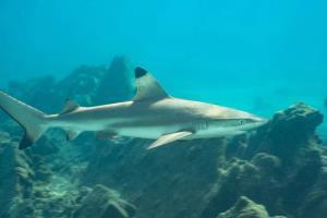 หลังปิดอ่าวมาหยา ฉลามหูดำมักปรากฏกตัวบ่อยครั้ง