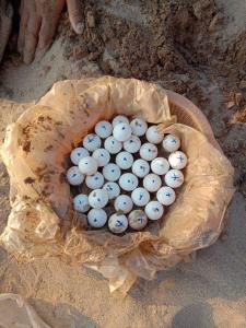 นักอนุรักษ์เขมรได้ดีใจกันถี่ๆ พบไข่ตะพาบหัวกบสุดหายากนับพันริมน้ำโขง