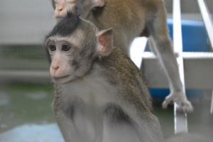 เอ็นดู...น้องลิงหลังรับวัคซีนโควิด-19 จากนักวิจัยไทย
