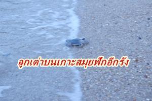 สุดประทับใจ ลูกเต่าตนุฟักออกจากไข่อีกรังที่เกาะสมุย