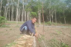 ข้าราชการที่กระบี่ โค่นยางหันมาทำเกษตรผสมผสาน เปลี่ยนชีวิตให้ดีขึ้น