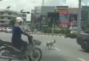 เจ้าบอดยอดแสบ น้องหมาขวัญใจชาวตลาด แกล้งทำเป็นหมาขาพิการข้ามถนน