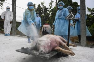 เวียดนามฆ่าหมูติดเชื้ออหิวาต์แอฟริกากว่า 4,000 ตัว หลังเกิดระบาดรอบใหม่