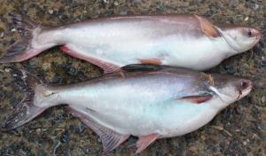 พันธุ์ปลาในแม่น้ำสงคราม (ภาพ : เพจกระทรวงทรัพยากรธรรมชาติและสิ่งแวดล้อม-ประเทศไทย)