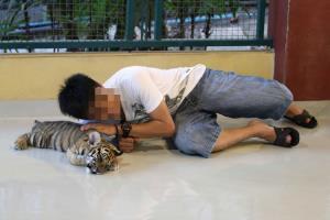 โควิด-19 บอกอะไรเราเกี่ยวกับการยุติผสมพันธุ์เสือในกรงเลี้ยง?