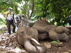 เร่งช่วยช้างป่ากุยบุรีเพศผู้ นอนป่วยอยู่กลางไร่ขนุนสามร้อยยอด