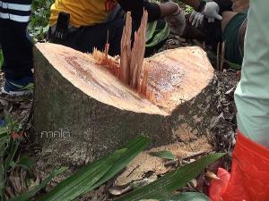 สลดหนุ่มใหญ่เมืองคอนปีนเก็บเชือกว่าวบนที่สูง พลาดตกหัวกระแทกเหลี่ยมต้นไม้ตายคาที่