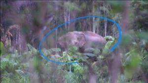 โล่งใจ ช้างสีดอพลัดหลงเข้าเขตเมืองสระแก้วกลับเขาป่าอุทยานฯ ปางสีดาแล้ว