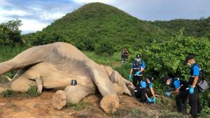 ช้างป่ากุยบุรีถูกไฟช็อตล้มคาไร่มะม่วง เขาจ้าว อ.ปราณบุรี จ.ประจวบฯ