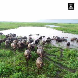 สวยงาม! ชมบรรยากาศเขื่อนลำตะคองหลังน้ำลด ฝูงวัว-ควาย ออกหาหญ้ากิน