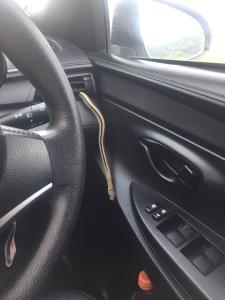 แทบช็อก! สาวเจองูเลื้อยออกมาจากช่องแอร์ในรถ โชคดีที่ตั้งสติได้