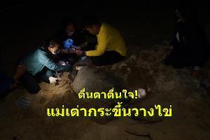 ตื่นตาตื่นใจ! แม่เต่ากระคลานขึ้นวางไข่บนหาดท้องหนัน เกาะสมุย เป็นรังที่ 4 แล้ว นับตั้งแต่ปี 55