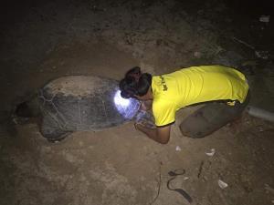 ช่วยทำคลอดเต่า ! ชาวบ้านช่วยขุดหลุมให้เต่าตนุวางไข่ที่หาดอ่าวเทียน จนสำเร็จ