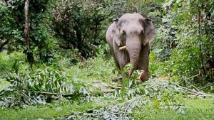 ช้างป่า ทำหน้าที่ปลูกและจัดกระจายพืชพรรณโดยการเดินกินไปเรื่อยๆ เมล็ดพันธ์ไม้ใหญ่ถูกทำให้มีรอยแตกเล็กน้อยด้วยฟันช้างระหว่างบดเคี้ยว