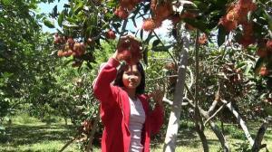 """เปิดแล้ว! """"สวนเรไร"""" สวนผลไม้แห่งแรก อ.กุดชุม ชมชิมกินเงาะไม่อั้นแค่ 50 บาท"""
