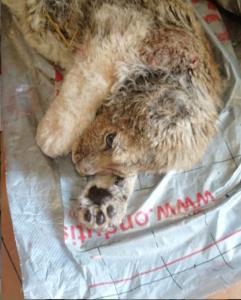 """ช่วยชีวิต """"Simba"""" ลูกสิงโตมาสคอตชายหาดในรัสเซีย ที่ถูกทิ้งหลังหมดประโยชน์"""