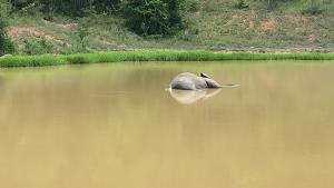 สลด!! พบลูกช้างป่าเพศผู้ล้มกลางบ่อน้ำกุยบุรี ผ่าซากพบกระสุนลูกซอง 4 เม็ด