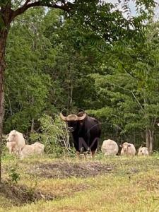 พบกระทิงโทนหลงฝูงหลุดป่าขุนพะวอ-ป่าแม่ตื่น ติดวัวสาวชาวบ้านจนตื่นทั้งคอก