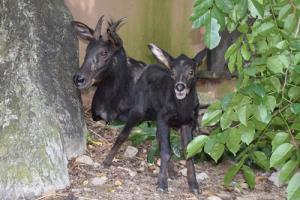 """สวนสัตว์เปิดเขาเขียวโชว์ """"เจ้าโควิด"""" ลูกเลียงผาสัตว์ป่าหายากใกล้สูญพันธุ์"""