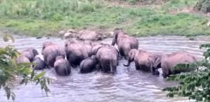 โขลงช้างป่าเดินเรียงแถวลงสระน้ำคลายร้อน
