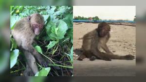 วอนช่วย! ลิงเขาตะเกียบถูกฝูงทิ้ง แถมรุมกัดบ่อยครั้ง จนขาหัก ลูกตาผิดรูปหางขาด (ชมคลิป)