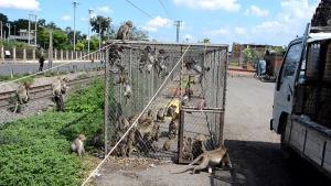 จับลิงลพบุรีทำหมัน 500 ตัว เพื่อลดปริมาณลิงออกมารบกวนประชาชน