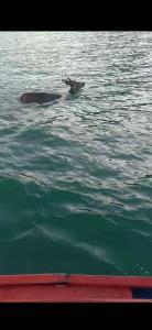 ชื่นชม! ชาวประมงช่วยชีวิตกวาง โผล่ลอยคอกลางทะเล ช่วยกันไล่ต้อนเข้าฝั่งจนปลอดภัย (ชมคลิป)