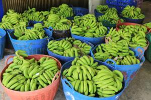 """""""กล้วยหอมทอง"""" ผลผลิตจากเกษตรกร ส่งขายเซเว่นฯ วันละ 5 หมื่นลูก!"""