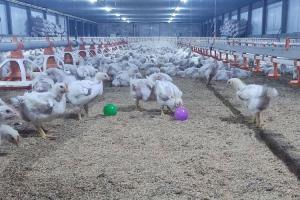 ซีพีเอฟเข้มงวดมาตรฐานสวัสดิภาพสัตว์ในห่วงโซ่คุณค่าทั้งสัตว์บกและสัตว์น้ำ