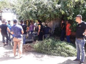 รวบลุงวัย 64 ปีชาวไทรโยค ลักลอบปลูกกัญชาหลังบ้านกว่า 30 ต้น