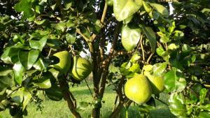 """ส้มโอทับทิมสยาม """"สวนสุภาสวัสดิ์"""" จากพนักงานประจำลุยสวนส้มเกษตรอินทรีย์ รายได้หลายล้านบาทต่อปี"""
