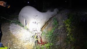 โหด!! ยิงช้างป่ากุยบุรีล้มคาสวนยาง หน้าโครงการพระราชดำริ