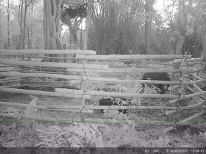 ภาพตอนกลางคืน เจ้าหน้าที่เฝ้าสังเกตการณ์คอยระวังลูกช้าง อยู่บนห้างบนต้นไม้