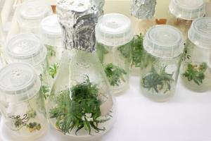 พืชอายุ 32,000 ปีภายในขวดทดลอง (REUTERS/Lisi Niesner)