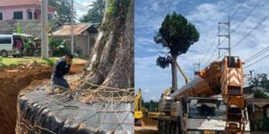 หนุ่มภูเก็ต ทำพิธีเคลื่อนย้ายต้นยางนาอายุ 300 ปี ไปปลูกในพื้นที่ปลอดภัย หลังมีโครงการปรับปรุงถนน