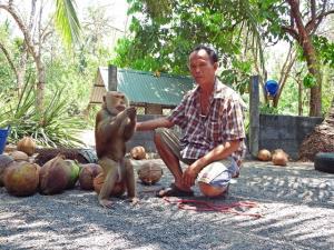 ฝึกลิงเก็บมะพร้าวที่ศูนย์ฝึกลิงเพื่อการเกษตรกระแดะแจะ  ภาพจาก thailandtourismdirectory.go.th/
