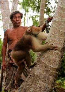 ลิงเก็บมะพร้าวในอังกฤษ / กษิติ กมลนาวิน ราชวังสัน