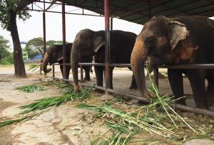 ช้างที่วังช้างอยุธยา แล เพนียด (ภาพ: เพจเพนียดคล้องช้าง ศูนย์พัฒนาพันธุ์ช้างอยุธยา)