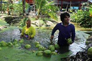 ชาวสวนมะพร้าวน้ำหอมดำเนินสะดวกยัน ไม่ได้ใช้ลิงเก็บมะพร้าว
